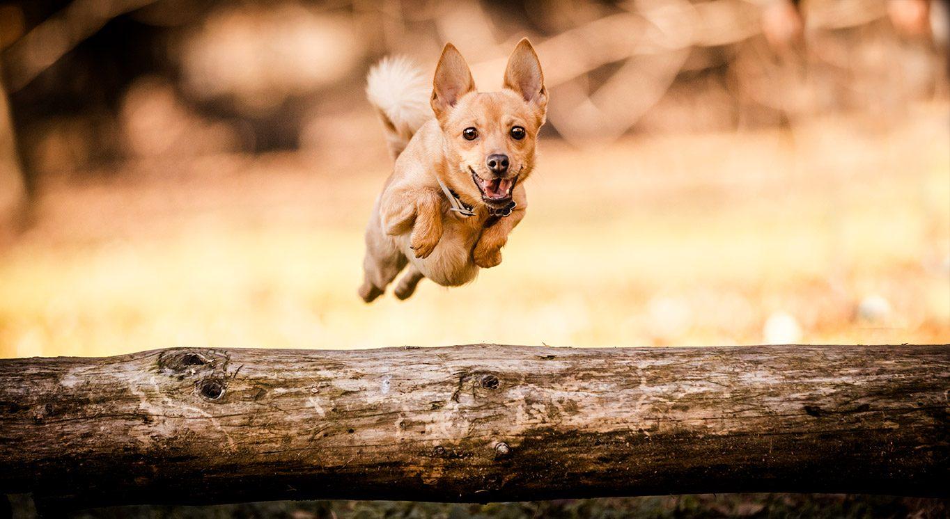 Cagnolino-che-salta-un-tronco